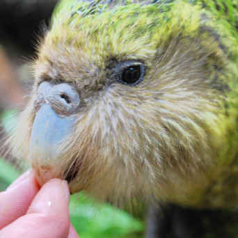 Sirocco the kakapo