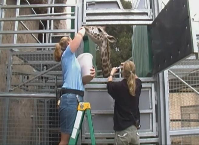 giraffe blood draw2