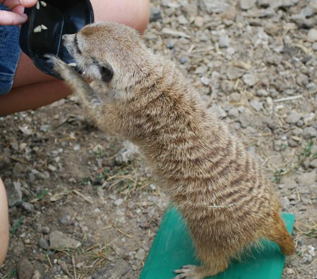 Meerkat stationing