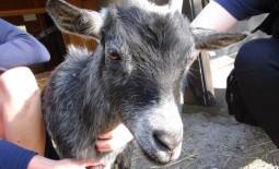 Goat Agility at Philadelphia Zoo